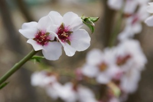 blossoming-almond-586840_640